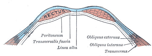cross section of the abs