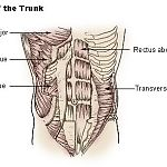 abs and trunk muscles.jpg